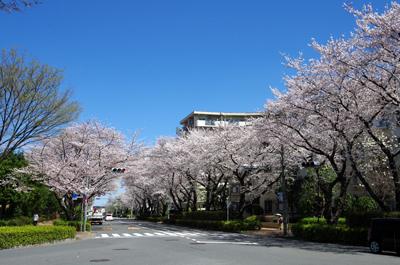 光が丘の桜